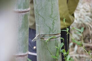 伐採のデモンストレーションを間近で見学。繊維の集まりでできている竹は、子どもの力でも比較的簡単に切ることができます。