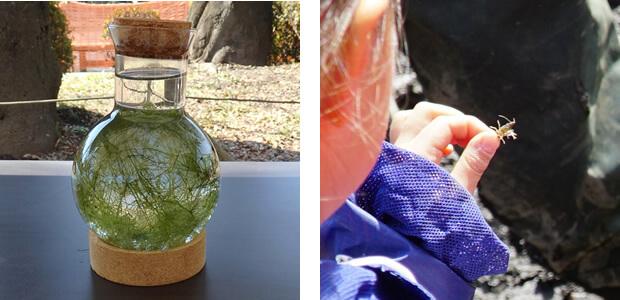 絶滅危惧種「イノカシラフラスコモ」(左)、ザリガニの赤ちゃんを発見!(※ザリガニは駆除対象です)(右)