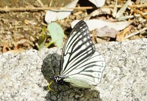 くすのきに育つアオスジアゲハの幼虫