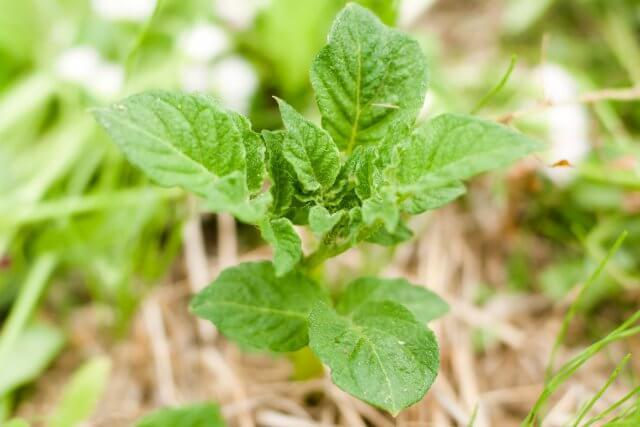 いなぎめぐみの里山でジャガイモの植え付け体験をしませんか