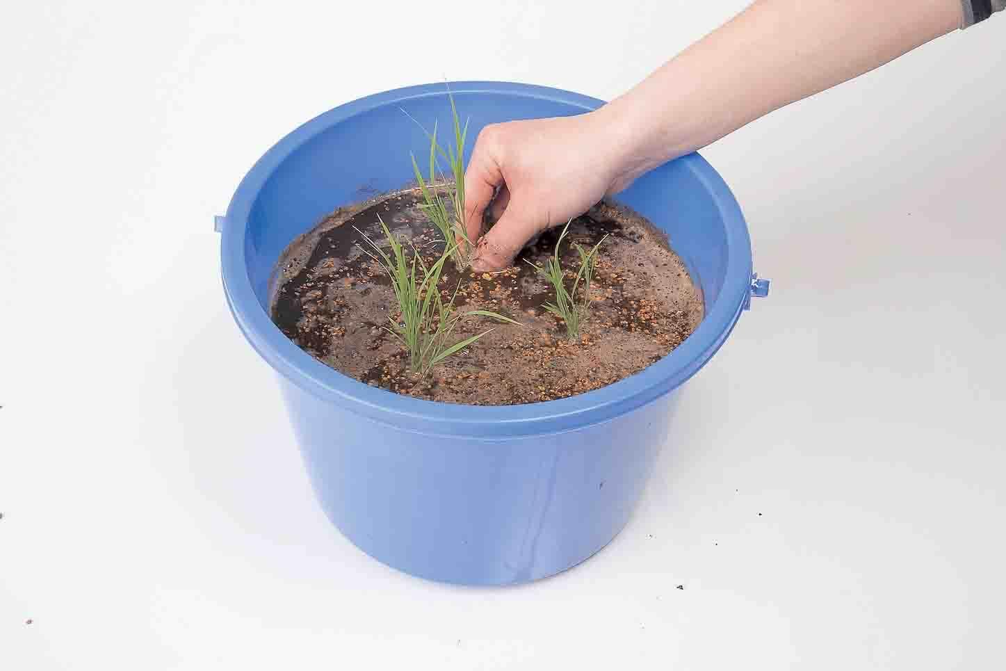 バケツやミニ田んぼで稲を育てよう!