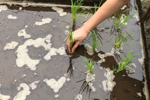 ★ミニ田んぼの場合には等間隔にてまっすぐに植えていきましょう★
