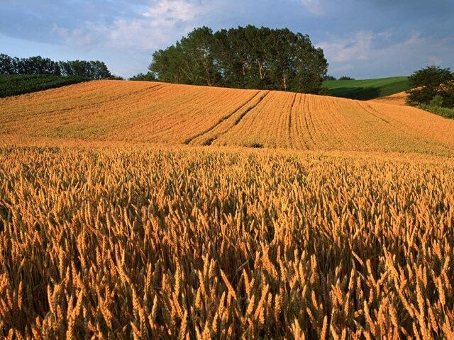 いなぎめぐみの里山 大麦を刈ってみませんか